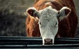 Hereford cow refuses questioning