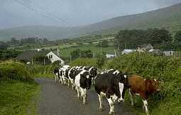 Cows create roadblock